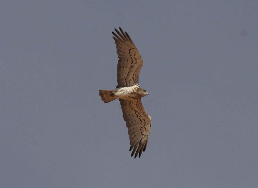 Female Short-toed Eagle (Circaetus gallicus) breeding at Oued Jenna, Aousserd