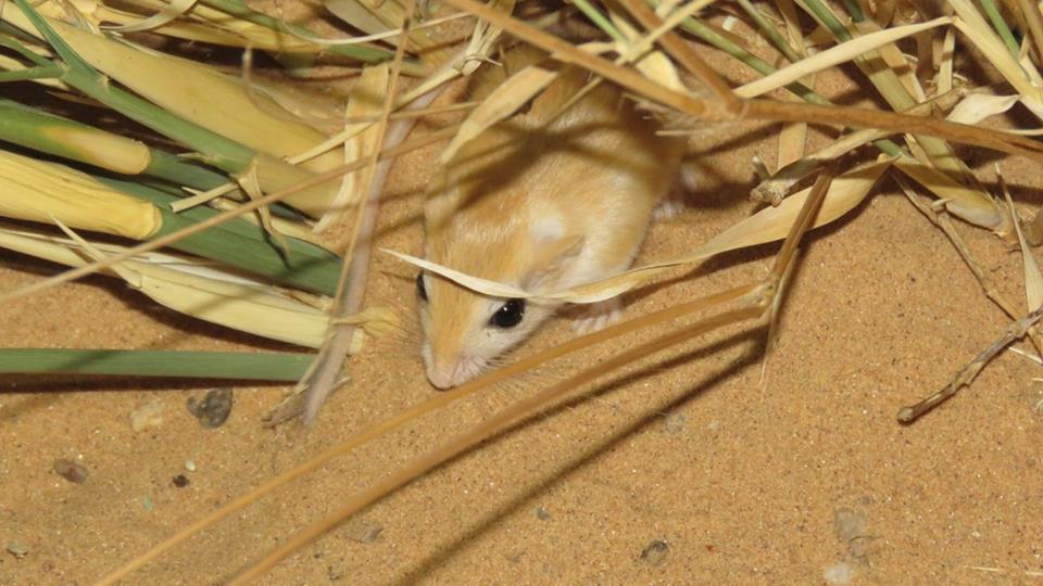 Tarabul's gerbil - Gerbille de Libye (Gerbillus tarabuli)