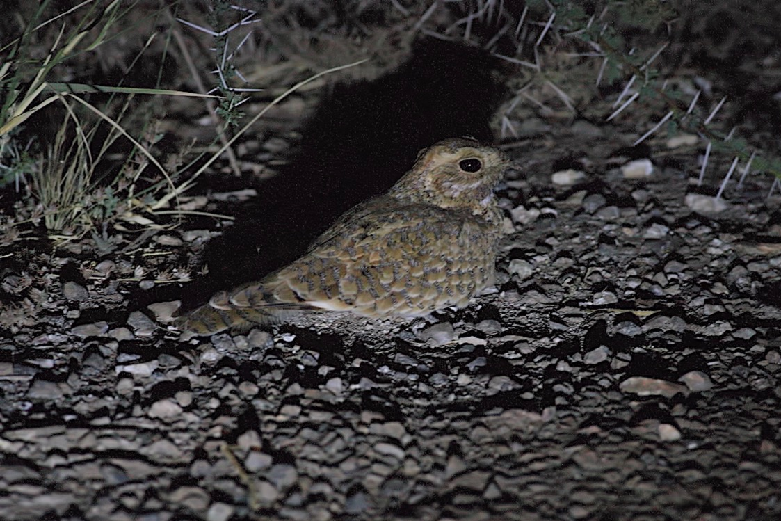 Golden Nightjar (Caprimulgus eximius), Oued Jenna, Aousserd, 19 April 2016