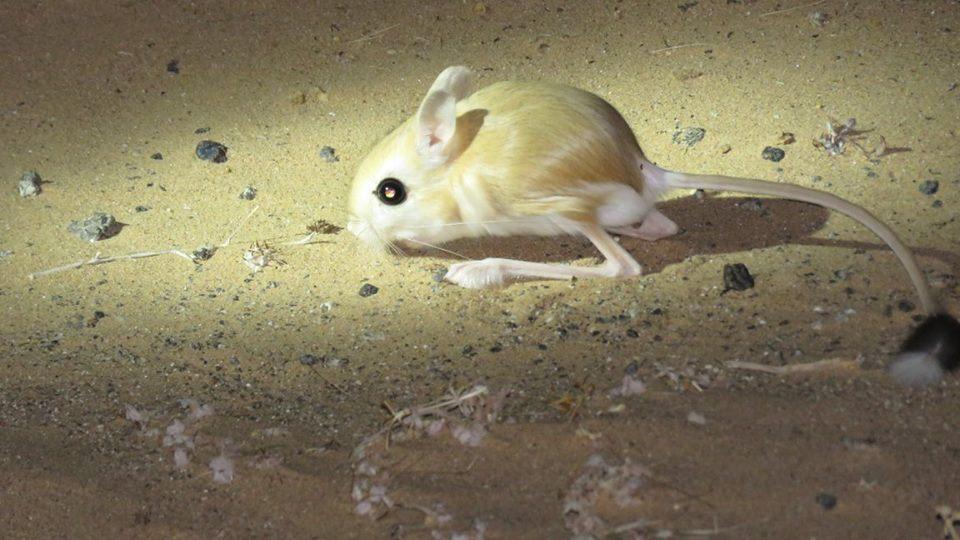 Lesser Egyptian jerboa - Petite gerboise d'Egypte (Jaculus jaculus)