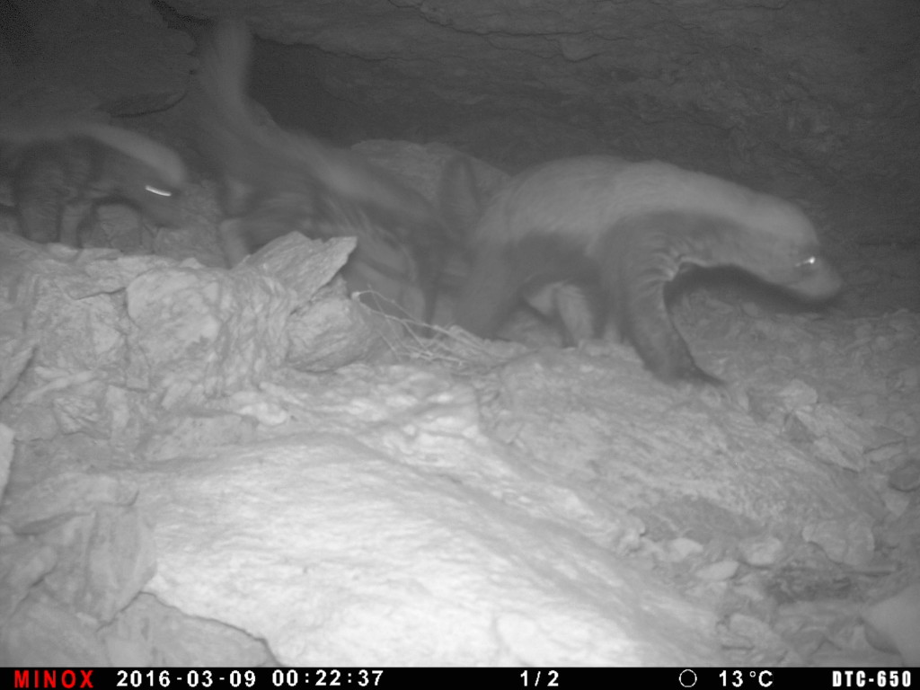 An adult and two cubs Honey Badgers (Mellivora capensis) caught on a camera trap in the Aousserd region