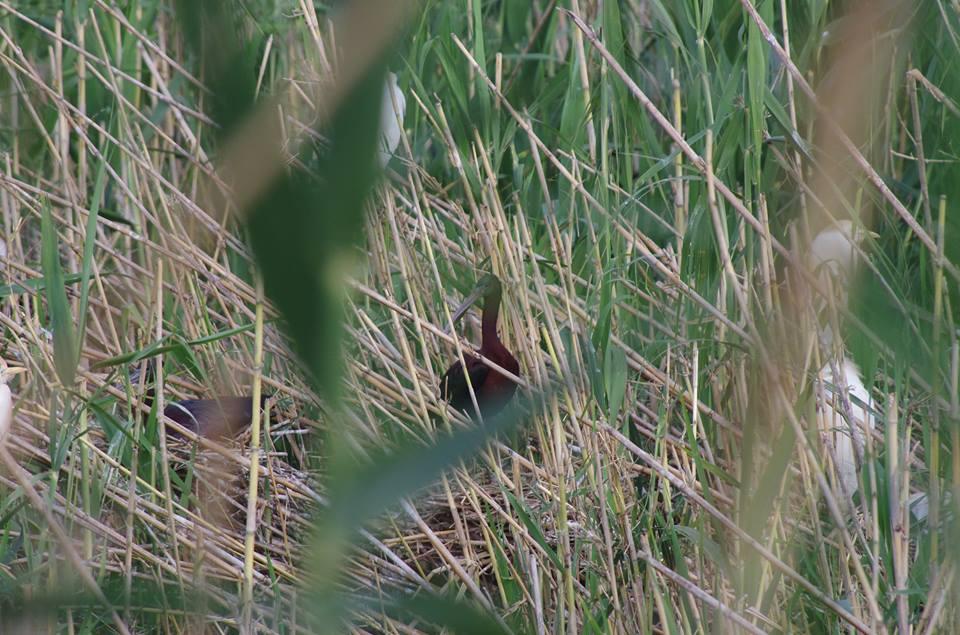 Glossy Ibis - Ibis falcinelle (Plegadis falcinellus), Parc Sindibad, Casablanca (Pierre Beaugé)