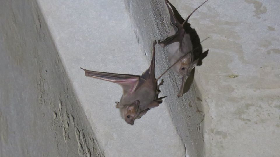 Lesser mouse-tailed bat - Petit rhinopome (Rhinopoma hardwickii)