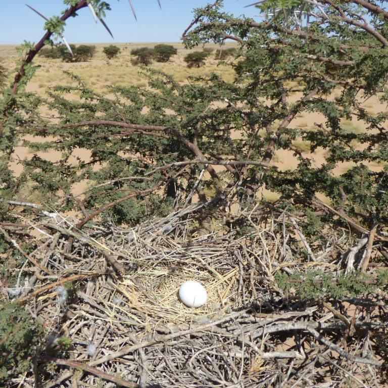 Short-toed Eagle nest with an egg, Oued Jenna, Aousserd, 20 April 2016