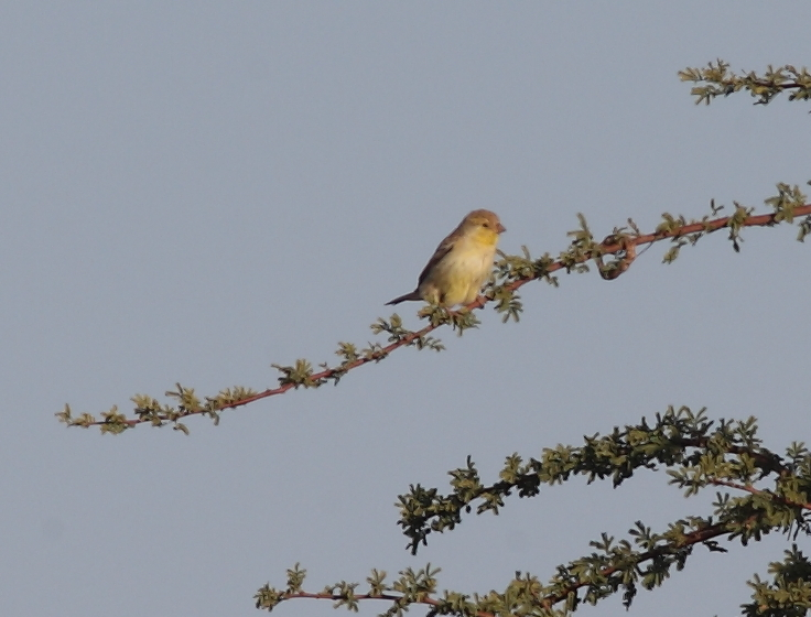 Sudan Golden Sparrow (Passer luteus), Oued Jenna, Aousserd, 20 April 2016