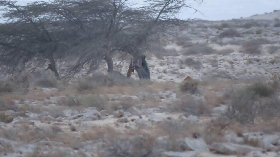Poacher in the act of skinning Dorcas gazelle - Braconnier entrain de dépecer des gazelles dorcas