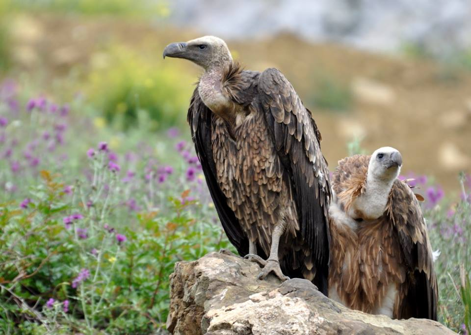Vautour de Rüppell (Gyps rueppelli) au Charnier à vautours, Jbel Moussa, 10 mai 2016