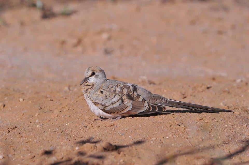 Juvenile Namaqua Dove (Tourtelette masquée - Oena capensis), Mijk, near Dakhla, southern Morocco