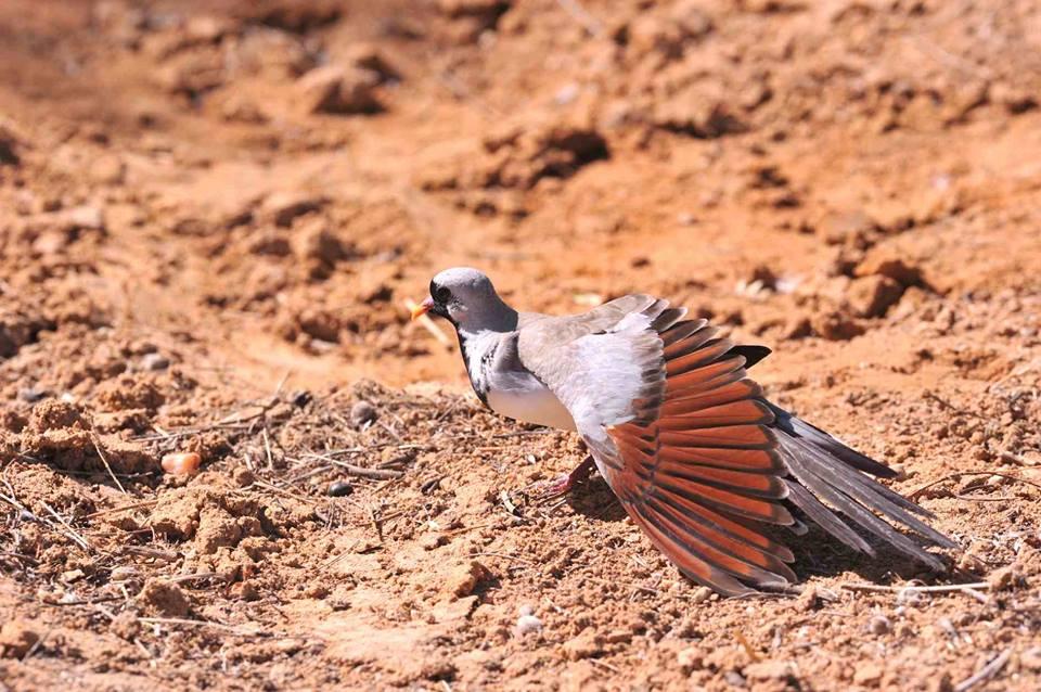 Male Namaqua Dove (Oena capensis), Mijk, near Dakhla, Western Sahara, southern Morocco, 14 May 2016 (F. Chevalier)