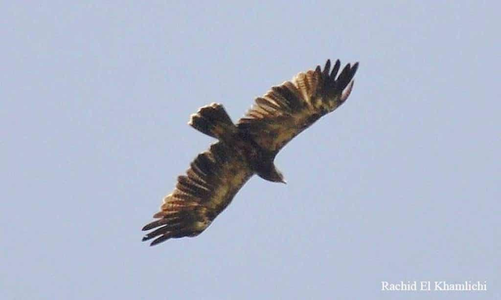 Lesser Spotted Eagle at Jbel Moussa, northern Morocco, 24 June 2017 (Rachid El Khamlichi)