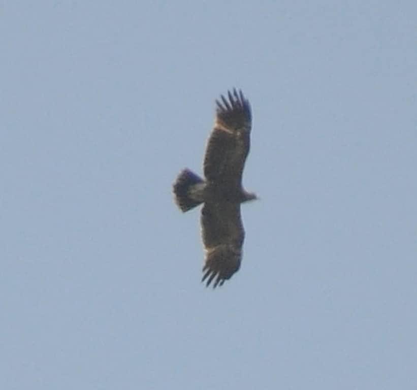 Lesser Spotted Eagle / Aigle pomarin (Clanga pomarina), Jbel Moussa, 21 May 2016 (Rachid El Khamlichi)