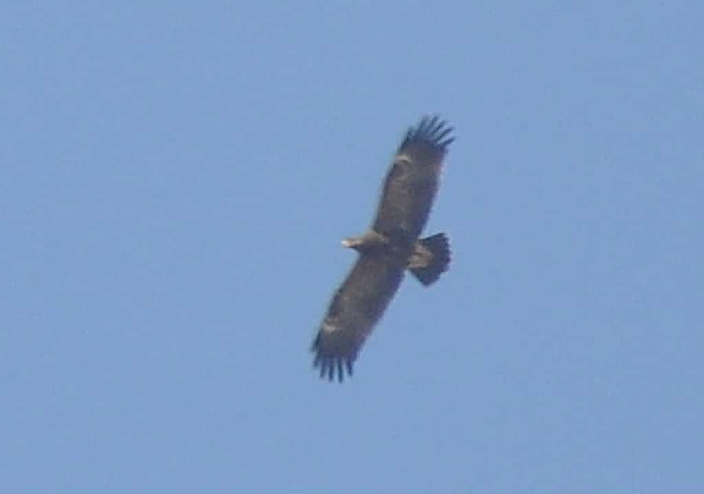 Lesser Spotted Eagle (Clanga pomarina) just crossed the Strait of Gibraltar near Tanger-Med Port, 1 Oct. 2016 (Rachid El Khamlichi)