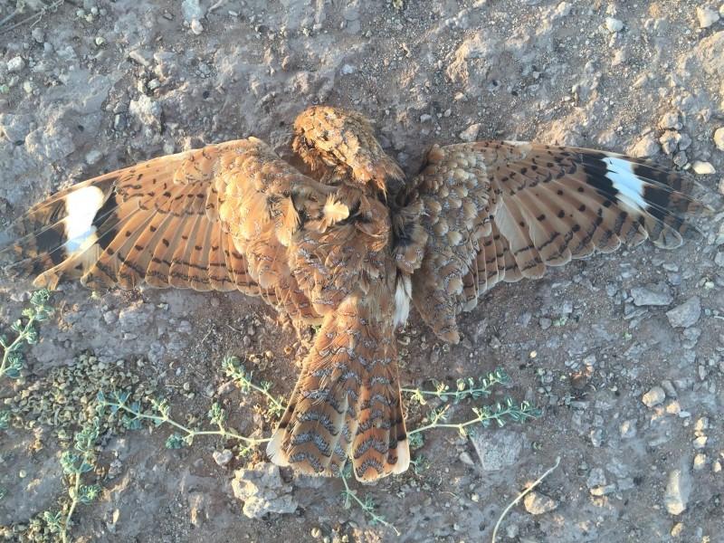 Road-killed Golden Nightjar (Caprimulgus eximius), Aousserd, Morocco, 20 April 2016 (Jurrien van Deijk)
