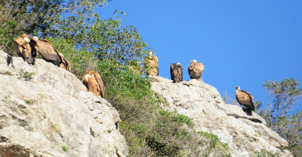 The same Rüppell's Vulture with about 8 Griffons at their roosting site, Jbel Moussa, northern Morocco, 2 May 2016