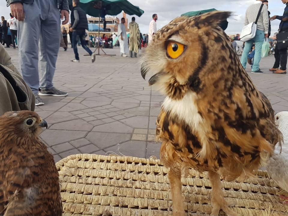 Pharaoh Eagle-Owl (Bubo ascalaphus), Jemaa el-Fna, Marrakech, 13 May 2016 (Halima Bousadik)
