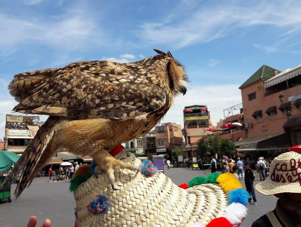 Pharaoh Eagle-Owl (Bubo ascalaphus), Jemaa el-Fna, Marrakech, 17 April 2016 (Brahim Bakass)