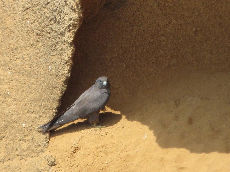 Eleonora's Falcon (Falco eleonorae), Bouknadel colony, 5 August 2016 (Karim Rousselon)