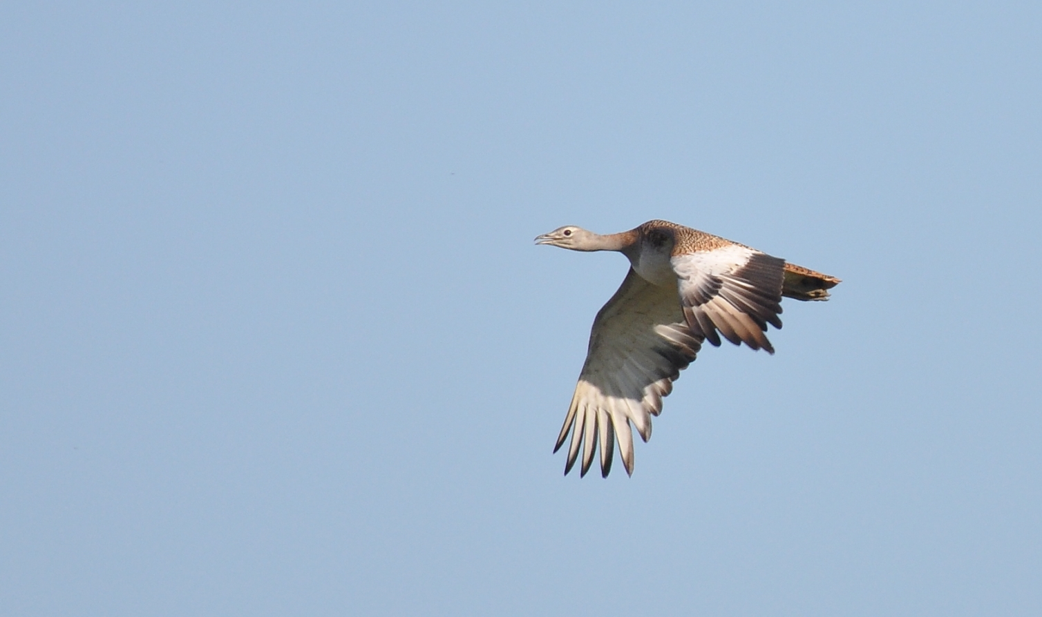 Great Bustard (Otis tarda), northern Morocco, 10 March 2015 (Rachid El Khamlichi)