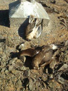 Cadavres récents d'un Aigle royal (Aquila chrysaetos) et d'un Faucon lanier (Falco biarmicus), Guelmim, 11 janvier 2016 (Rachid El Khamlichi).