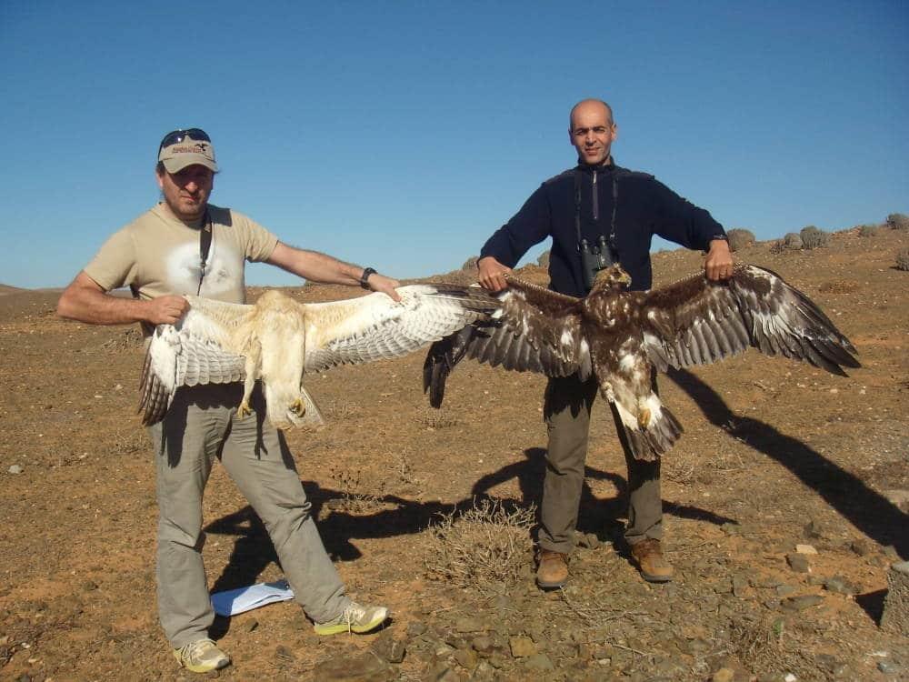 Recent carcasses of Bonelli's (Aquila fasciata) and Golden Eagle (Aquila chrysaetos), both juveniles, on Line B2, Guelmim, January 2016 (Catarina Machado)