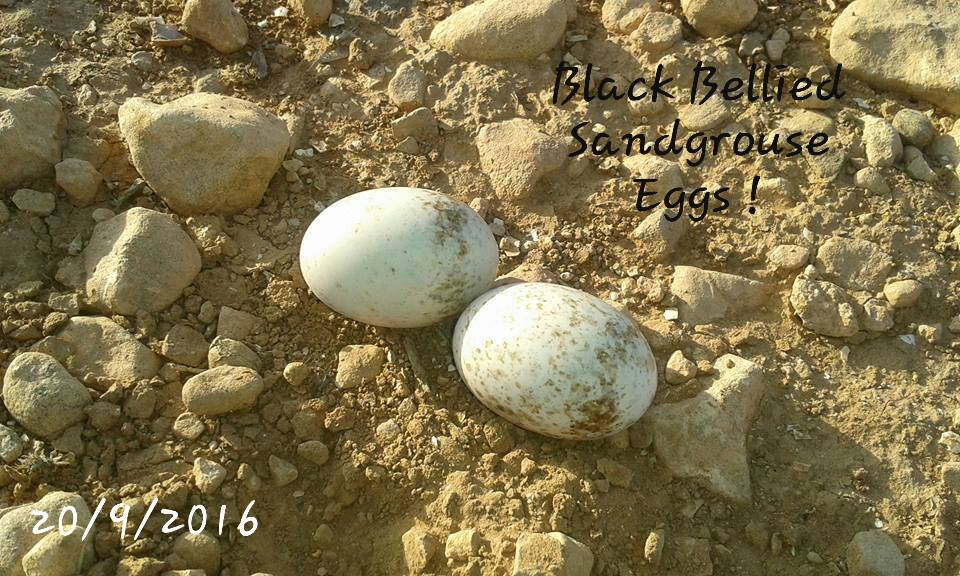 Eggs of Black-bellied Sandgrouse (Pterocles orientalis), near Oued Massa, southern Morocco