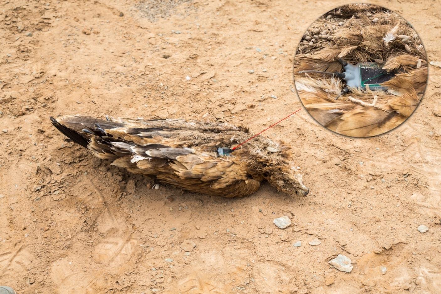 Cadavre de l'Aigle ibérique (Aquila adalberti) muni d'un émetteur satellitaire par EBD-CSIC, Guelmim, 22 octobre 2015 (Ali Irizi). C'est l'individu qui a démarré toutes ces découvertes.