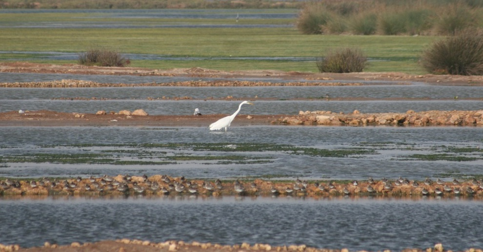 Great Egret /Grande aigrette (Casmerodius albus), Sidi Moussa, Atlantic Morocco, 19 Oct 2016 (Ruth Garcia Gorria)
