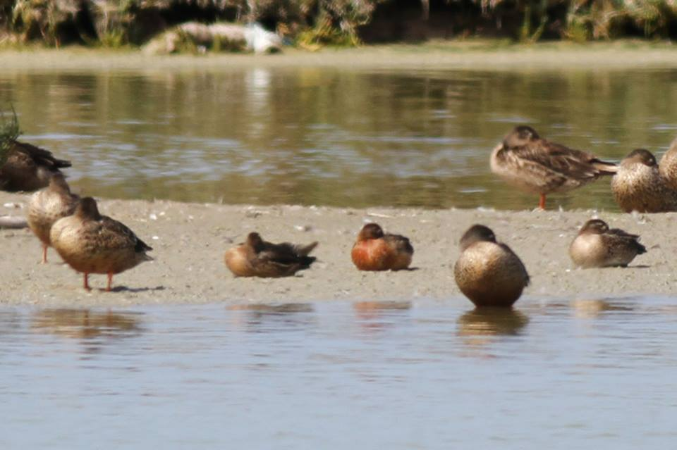Cinnamon Teal / Sarcelle cannelle (Spatula cyanoptera), Oualidia, Morocco, 8 Oct. 2016 (Benoît Maire)