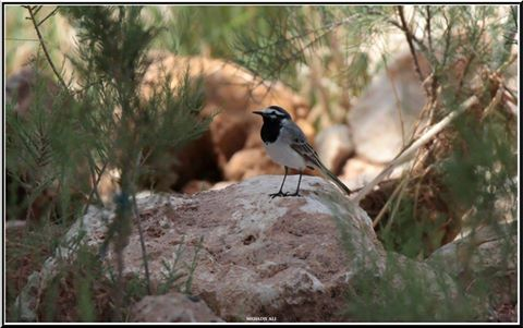 Bergeronnette du Maroc (Motacilla alba subpersonata), Abadla, ouest d'Algérie, 20 mars 2017 (Ali Mehadji)