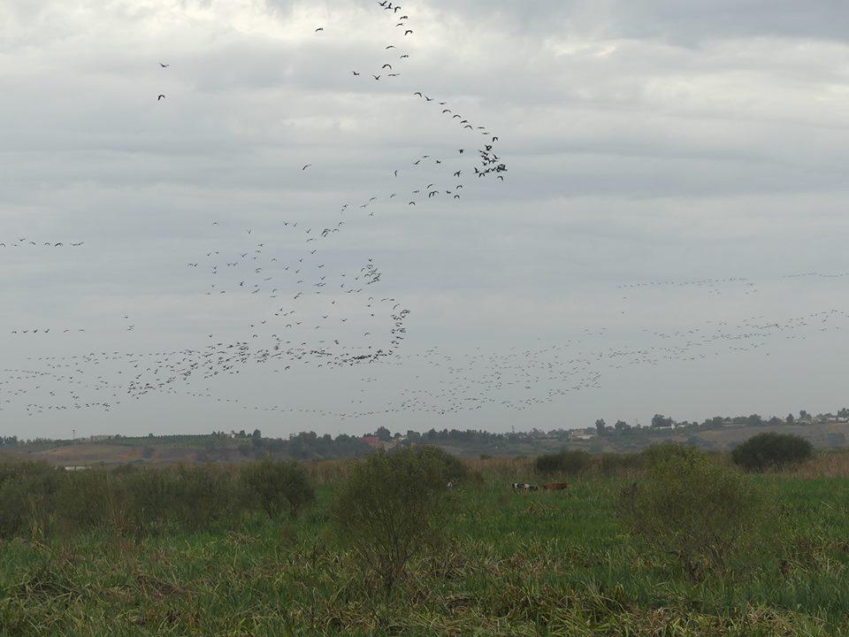 Flocks of Glossy Ibises (Moritos común - Plegadis falcinellus), lower Loukkos marches, 3 Nov 2016 (Juan Ramírez Román)