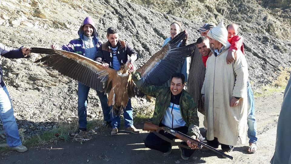 Griffon Vulture (Gyps fulvus) shot in northern Morocco, November 2016