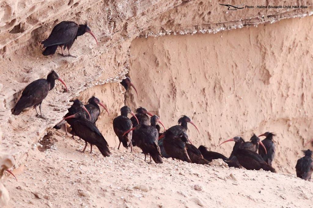 Colonie de l'Ibis chauve (Geronticus eremita) au Maroc