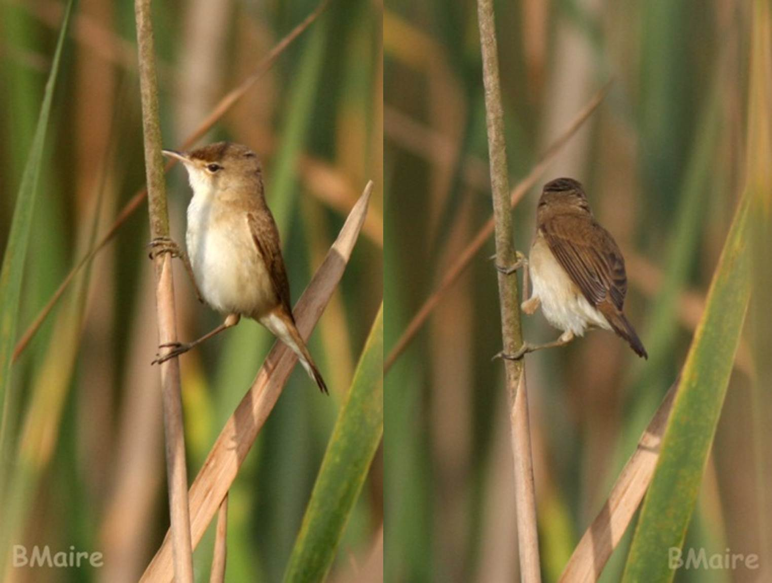 African Reed Warbler / Rousserolle africaine (Acrocephalus baeticatus ambiguus), photographed in northern Morocco in March 2011 (Benoît Maire).
