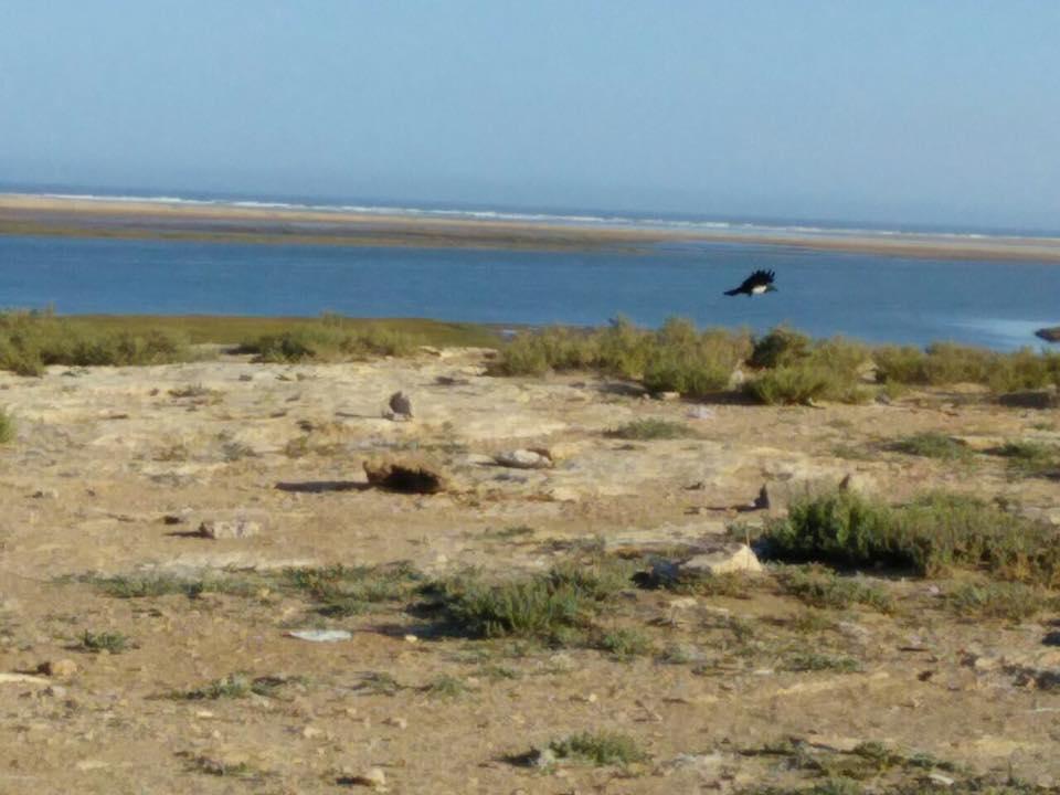Pied Crow / Corbeau pie (Corvus albus), Khnifiss, southern Morocco, 23 Jan. 2017 (Leabid Ayach)