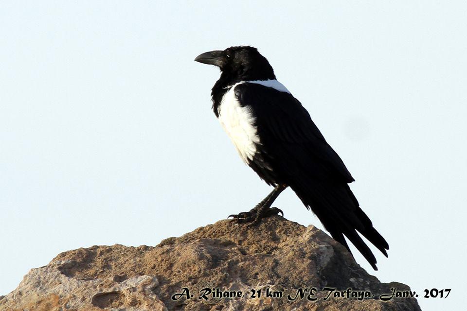 Pied Crow / Corbeau pie (Corvus albus), Tarfaya, southern Morocco, 9 Jan. 2017 (Abdeslam Rihane)