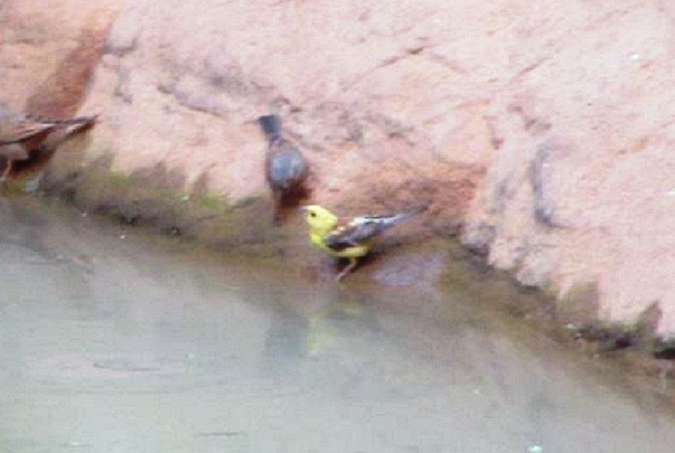 Sudan Golden Sparrow (Passer luteus) at Djanet, south-east Algeria, Jan. 2017 (Gue Bilel).