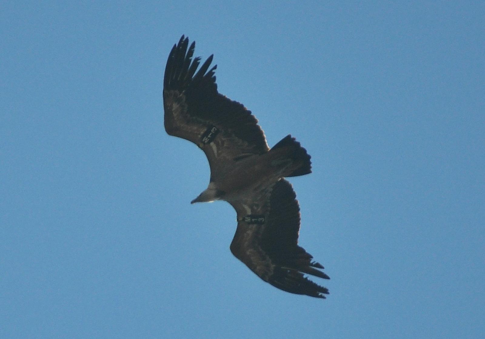 Griffon Vulture (Gyps fulvus) M13, Jbel Moussa, northern Morocco