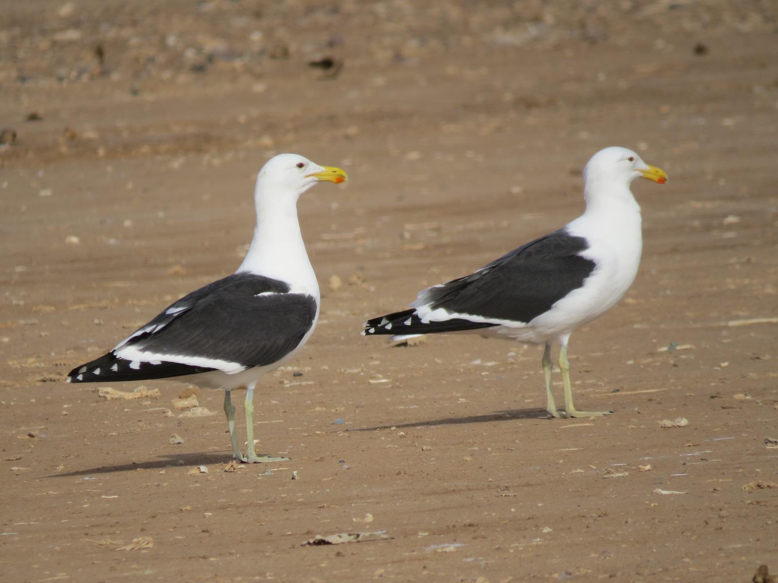 Kelp Gulls (Larus dominicanus), Akhfenir, southern Morocco, 25 Feb. 2017 (Robert Swann)