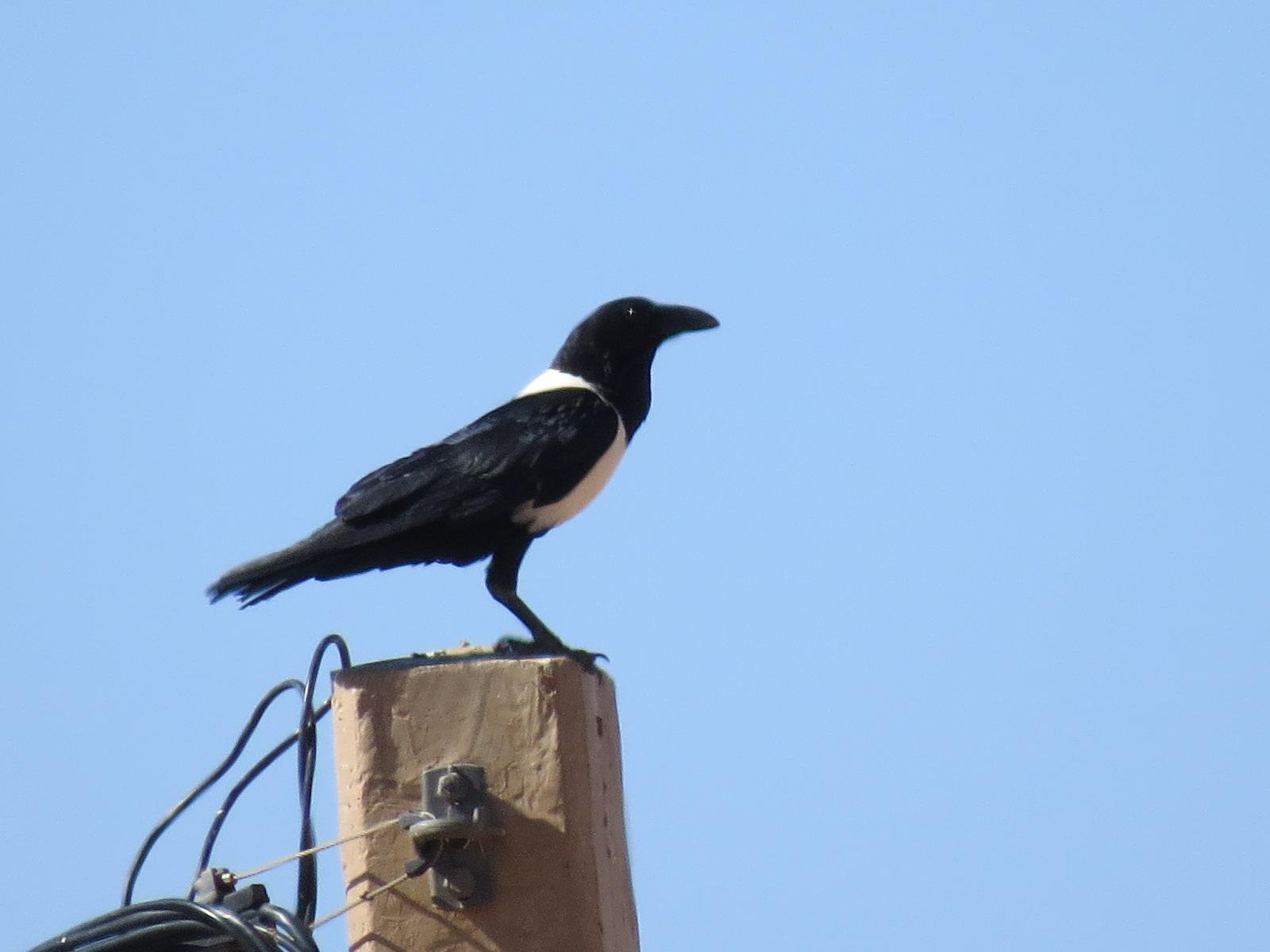 Pied Crow (Corvus albus), Mhamid, eastern Sahara, Morocco, 23 Feb. 2017 (Robert Swann)