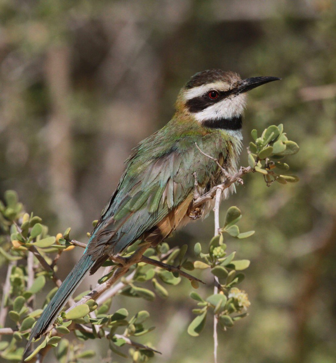 White-throated Bee-eater / Guêpier à gorge blanche (Merops albicollis), Dakhla bay, 4 March 2017 (Dan Brown)