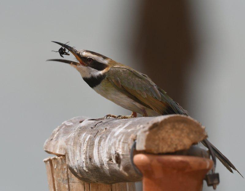 White-throated Bee-eater / Guêpier à gorge blanche (Merops albicollis), Dakhla bay, 10 March 2017 (Phil Abbott).