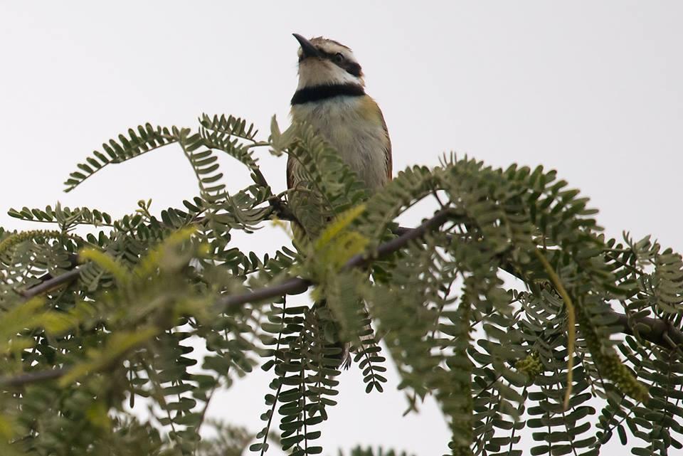 White-throated Bee-eater / Guêpier à gorge blanche (Merops albicollis), Dakhla bay, 2 March 2017 (Arnoud van den Berg).