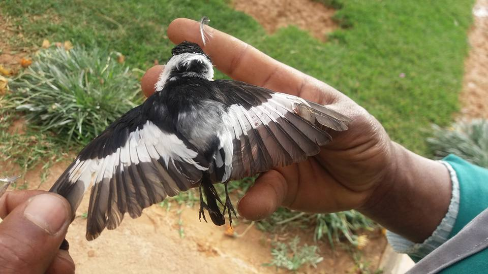 Collared Flycatcher / Gobemouche à collier (Ficedula albicollis) caught by a cat, Rhourde el-Baguel, eastern Algeria, 7 April 2017 (Fethi Saadaoui).