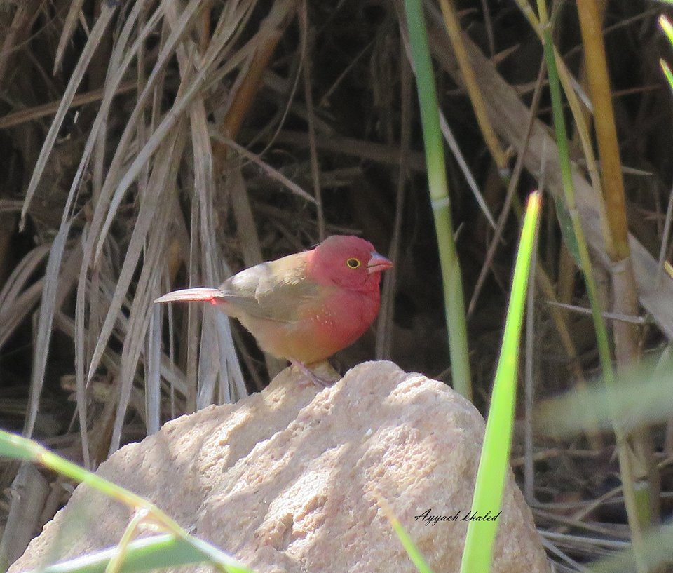 Red-billed Firefinch / Amarante du Sénégal (Lagonosticta senegala), Djanet, Algeria, 29 Oct. 2016 (Khaled Ayyach)