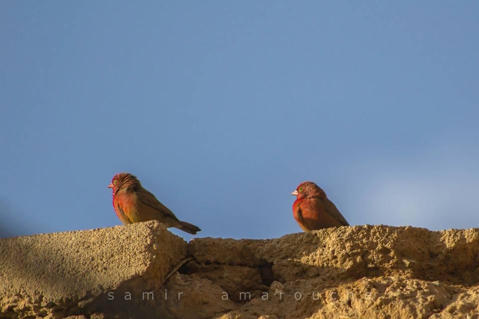 Red-billed Firefinches / Amarantes du Sénégal (Lagonosticta senegala), Tamanghasset, Algeria, February 2017 (Samir Amarouche)