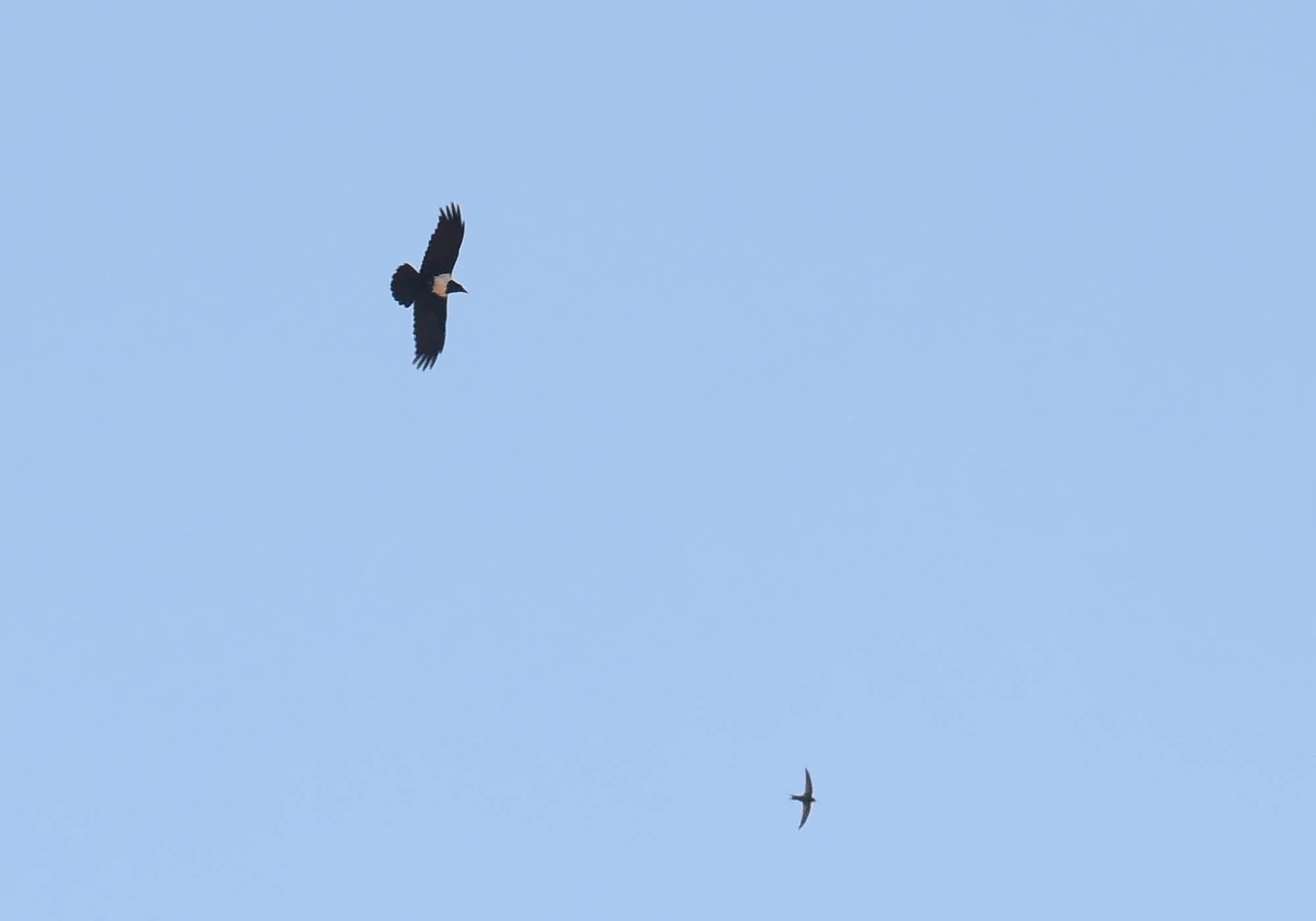 Pied Crow / Corbeau pie (Corvus albus), Oum Azza, near Rabat, 1 May 2017 (Petteri Lehikoinen)