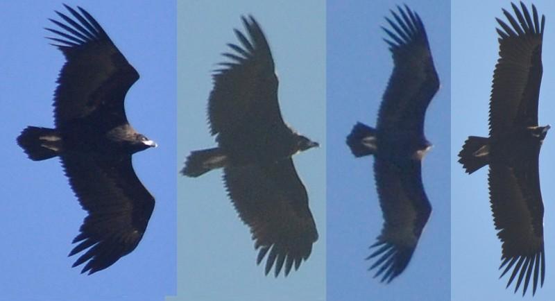 4 Cinereous Vultures / Vautours moines (Aegypius monachus), near Tanger-Med Port, 10 Nov. 2017 (Rachid El Khamlichi).