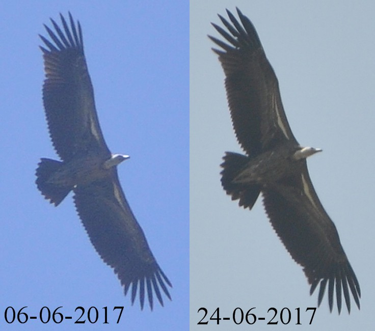 Rüppell's Vulture (Gyps rueppelli) observed at Jbel Moussa, northern Morocco on 6 and 24 June 2017