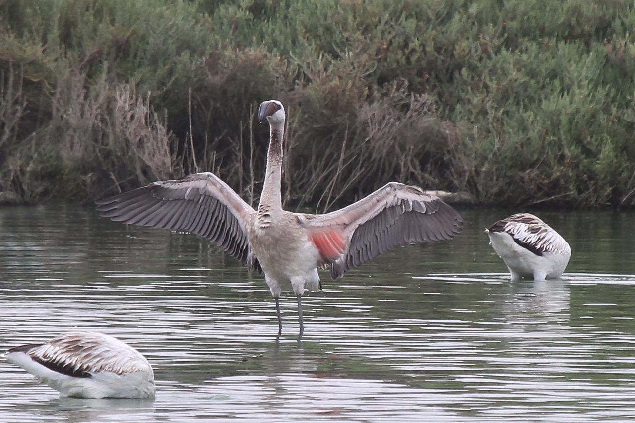 Lesser Flamingo / Flamant nain (Phoenicoparrus minor), Oualidia, Morocco, 16 Oct. 2017 (Abdeslam Rihane)