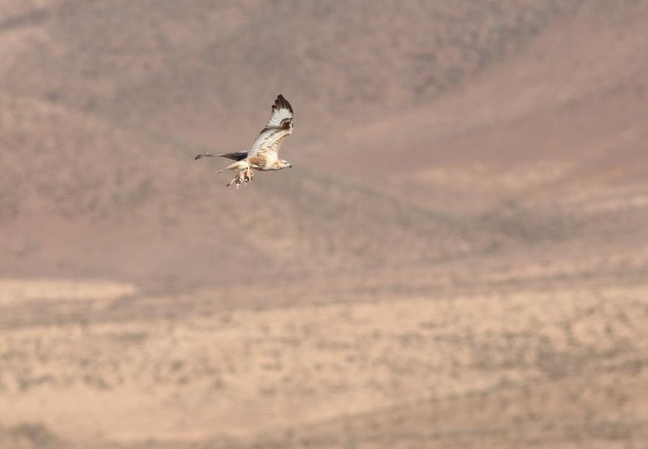 Atlas Long-Legged Buzzard with fat sand rat (Psammomys obesus), Guelmim region, Morocco, 23 Nov. 2017 (Brahim Bakass)